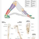 Reflexology foot chart - referral areas