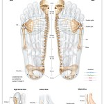 Reflexology foot chart - skeletal system