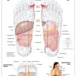 Reflexology foot chart - digestive system