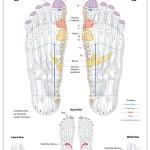Reflexology foot chart - endocrine system