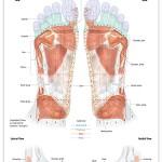 Reflexology foot chart - muscular system