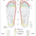 Reflexology foot chart - nervous system