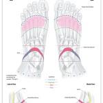 Reflexology foot chart - reproductive system
