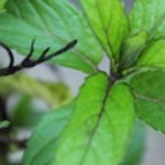 Peppermint essential oil aids pain relief, headaches, nausea
