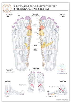 Reflexology Foot Chart Endocrine System