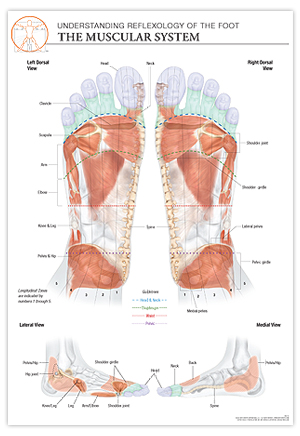 Reflexology Muscle Diagram Block And Schematic Diagrams