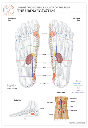 Urinary System Feet Diagrams - Product Wiring Diagrams •